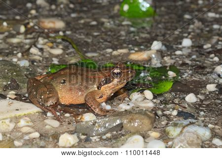 Female of Italian agile frog (Rana latastei) full of eggs, reaching the breeding site, Italy