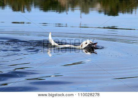Yellow Hunting Labrador Retrieving