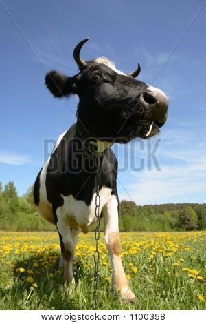 the cow costs on a green lawn poster