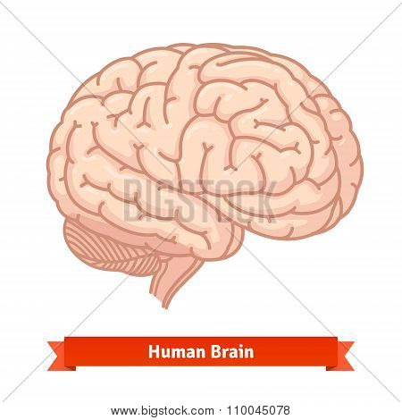 Human brain. Three-quarter view