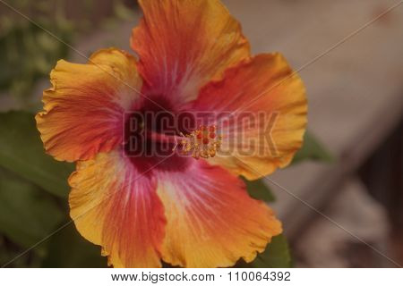 Sunset Hibiscus flower