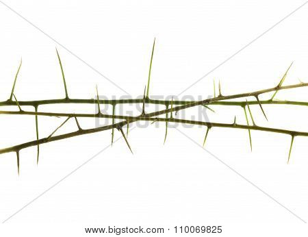 Plant Branch With Thorn