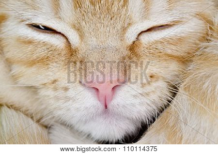 Muzzle Of A Young Cat Carroty Closeup