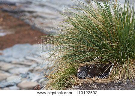 Kelp Goose on a Nest