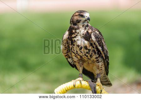 Rough-legged Hawk Perched