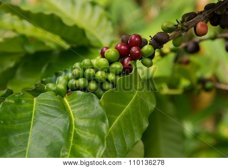 Hawaiian Kona Red Coffee Beans On Tree Growing In Plantation In Kauai