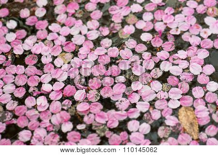 Reminiscence of a cherry blossom,  Fallen cherry flower petals floating on a ponds water surface.