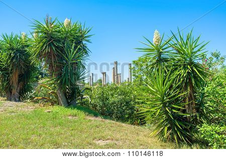 The Beautiful Yuccas