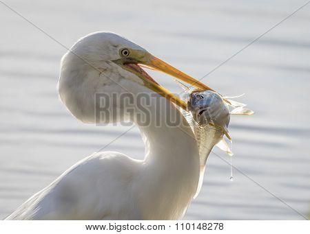 Great Egret Catching A Bass