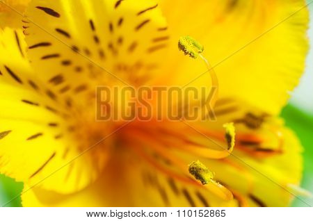 Yellow Alstroemeria Closeup
