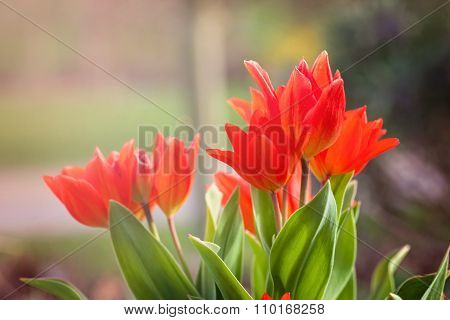 Red Tulip Flowers In A Spring Afternoon