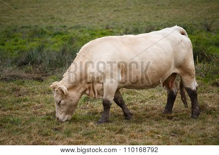 White Cow On Autumn Pasture