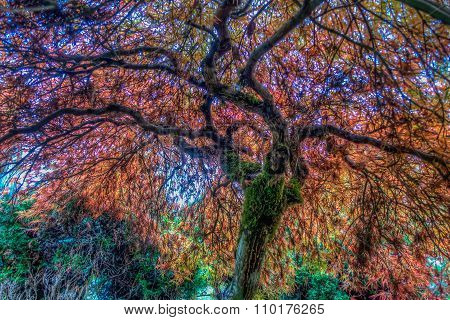Seatac Japanese Maple Abstract Hdr