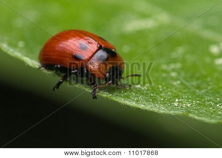 The Willow Leaf Beetle