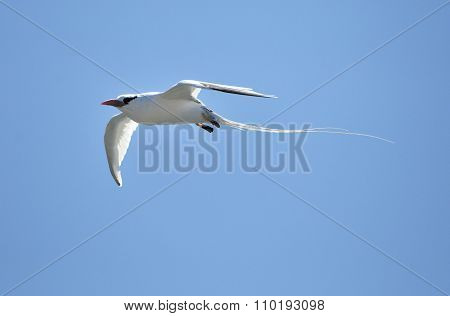 Red-billed Tropicbird (phaethon Aethereus) In Sky On Galapagos Island.