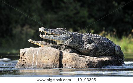 Nile Crocodile. Two Crocodiles
