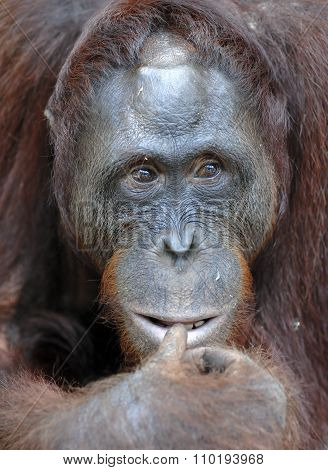 Orangutan Portrait. A Portrait Of The Young Orangutan On A Nickname Ben. Close Up At A Short Distanc