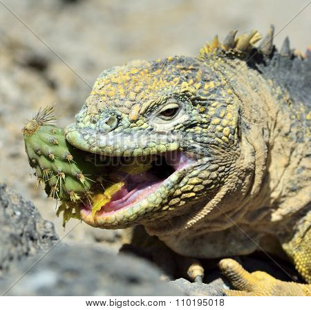 Sharp Meal. The Land Iguana Eating Prickly Pear Cactus.the Galapagos Land Iguana (conolophus Subcris