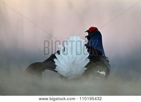 Portrait of a Gorgeous lekking black grouse (Tetrao tetrix). (Lyrurus tetrix) early in the morning poster