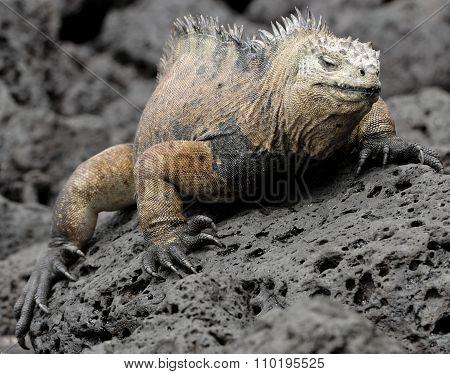 The Marine Iguana On The Black Stiffened Lava. The Male Of Marine Iguana (amblyrhynchus Cristatus)