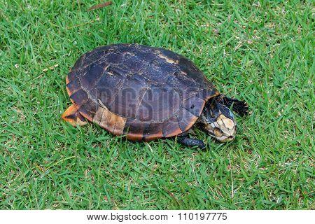 Carrion Turtle , Turtle Deaths