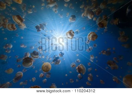 Underwater photo of endemic golden jellyfish in lake at Palau. Snorkeling in Jellyfish Lake is a popular activity for tourists to Palau.