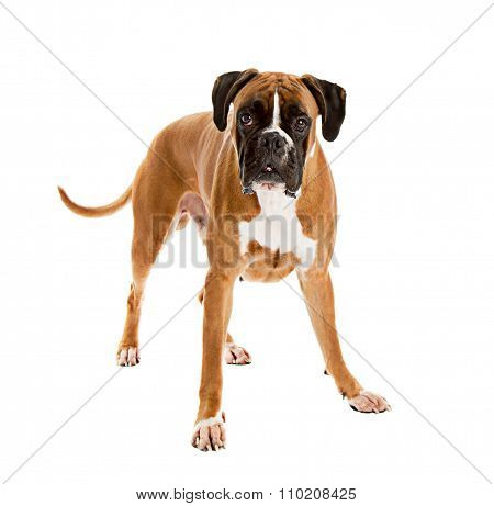 Fawn-colored Boxer