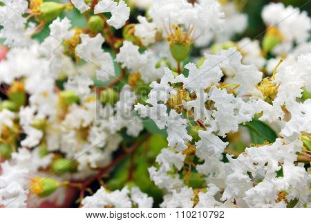 Cute Fluffy Tiny White Flowers