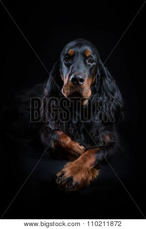 Young Gordon Setter portrait on black