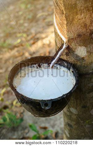 latex extracted from rubber tree (Hevea Brasiliensis) source of natural rubber poster