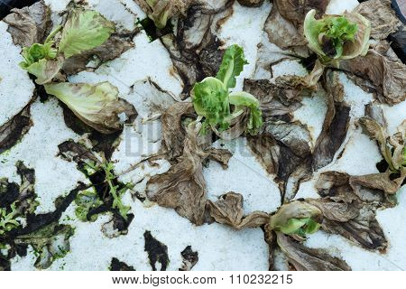 the lettuce hydroponic had withered