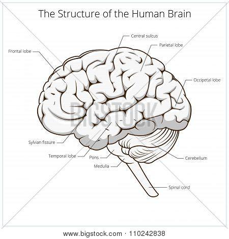 Structure of human brain schematic vector