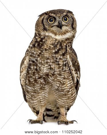 Spotted eagle-owl - Bubo africanus (4 years old) in front of a white background poster