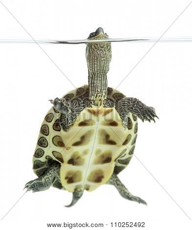 European pond turtle (1 year old), Emys orbicularis, floating in front of a white background
