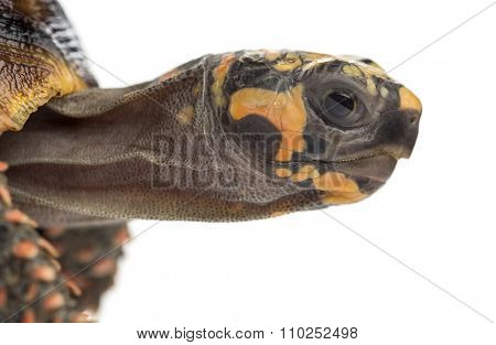 Close-up of a Red-footed tortoises (1,5 years old), Chelonoidis carbonaria, in front of a white background