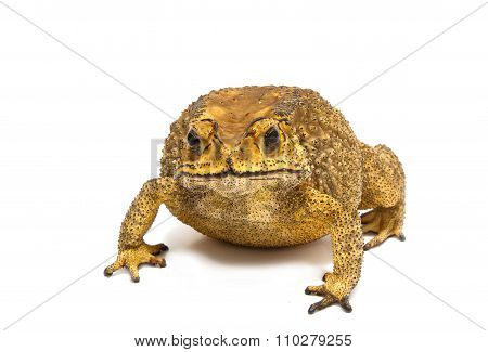 Toad Isolated  , isolate  on white background poster
