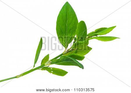 Medicinal plant. Knotweed or polygonum aviculare