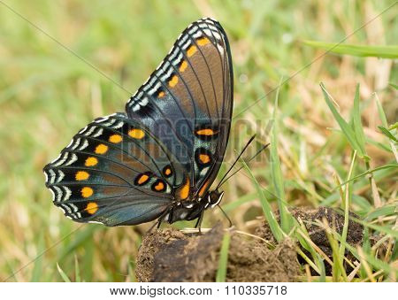 Ventral view if a beautiful Red-spotted Purple Admiral butterfly getting nutrients from horse poop