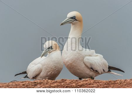 Beautiful Gannets At The Lonely Island Helgoland In North Sea Of Germany