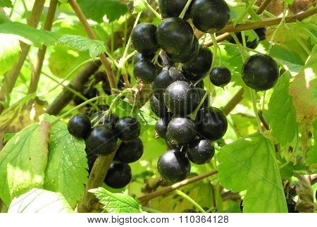 Sweet berry blackenning currant