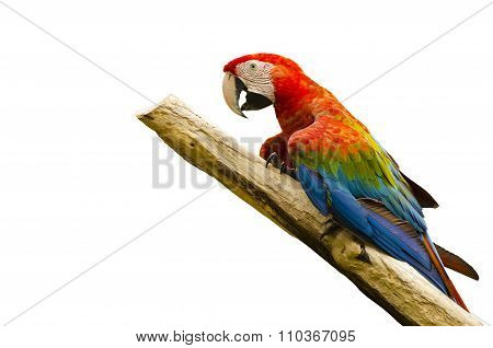 colorful beautiful macaw bird isolated on white background