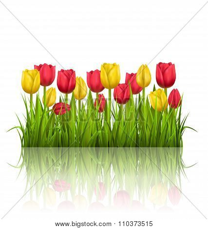 Grass lawn with yellow and red tulips and reflection on white. F