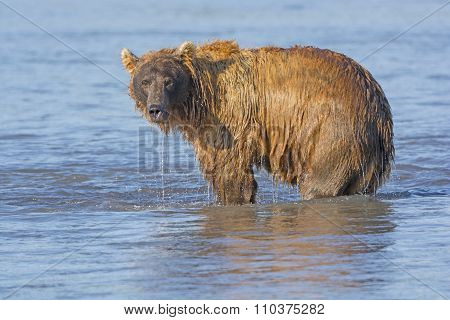 Grizzly Dripping From Fishing In The Water