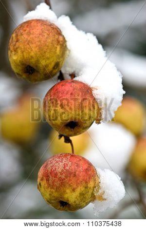 Apple Tree Under The Snow