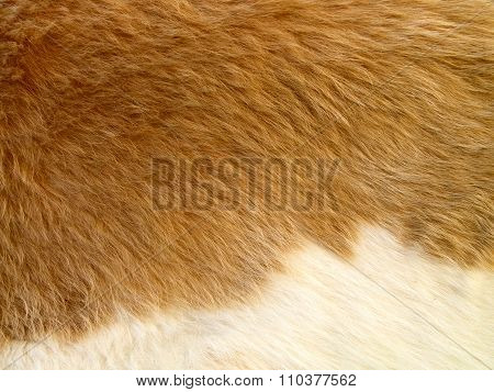 Close Up Of Yellowish-brown  Skinned Goat Fur With White Details