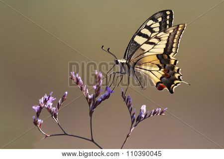 Swallowtail butterfly,papilio Machaon