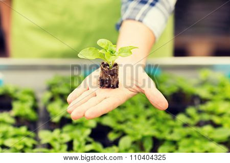 people, gardening, planting and profession concept - close up of woman hand holding seedling sprout at greenhouse
