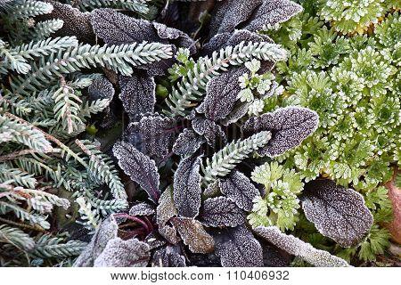 Plants in hoarfrost.