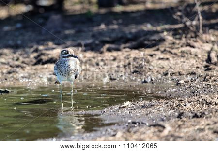 Water Thick Knee in Kruger National Park poster
