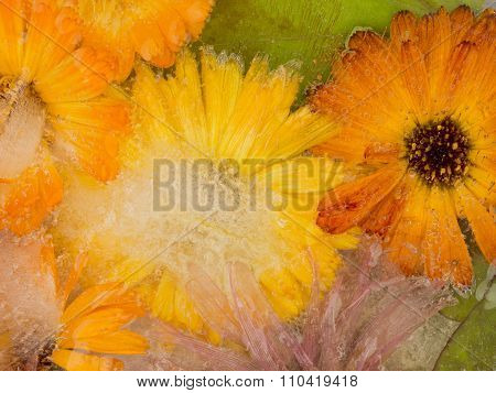 Unusual Icy Abstraction Of Marigold Flowers